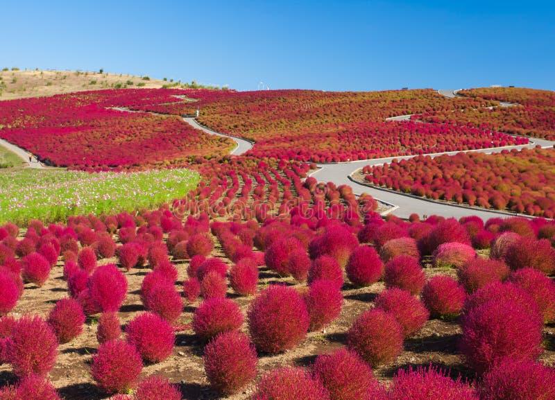 Colline de Kochias dans la saison d'automne photographie stock