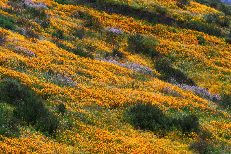 Colline del papavero dorato di California immagine stock