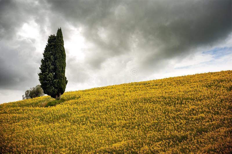 Colline toscane avec les tournesols et le cyprès Paysage toscan entre Sienne et Florence l'Italie photo libre de droits