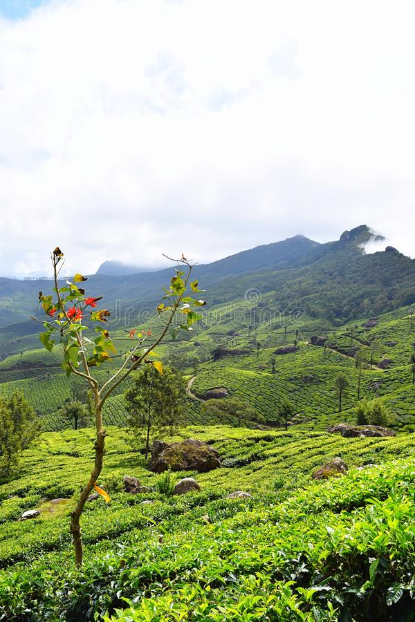 Colline verdi e giardini di tè fertili nel paesaggio naturale in Munnar, Idukki, Kerala, India fotografie stock libere da diritti