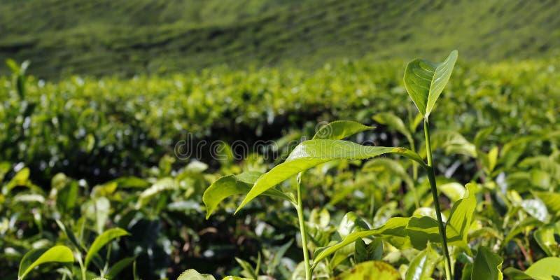 Collines de plantation de thé en Malaisie photos stock