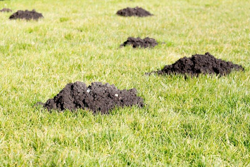 Collines de taupe dans la pelouse de jardin photos libres de droits