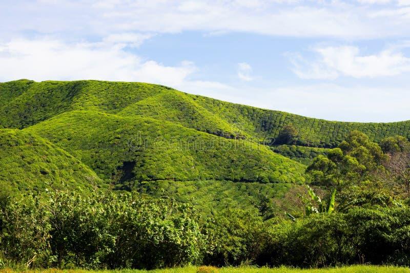 Collines fraîches vertes de thé photographie stock libre de droits