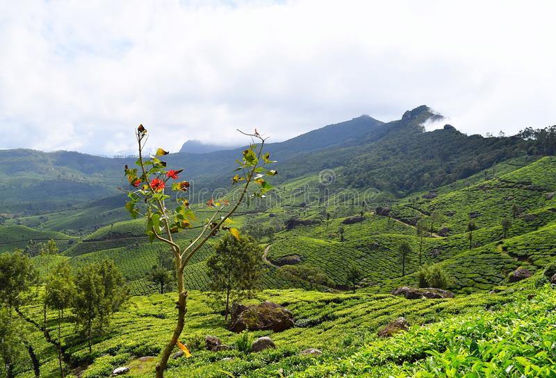Collines vertes et jardins de thé luxuriants dans le paysage naturel dans Munnar, Idukki, Kerala, Inde photo libre de droits