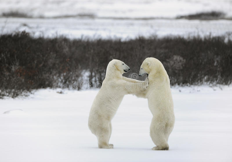 Collision. Two polar bears fight, having got up on hinder legs royalty free stock photos