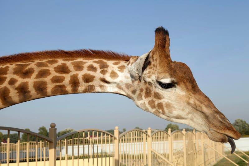 Collo enorme della giraffa e fronte divertente con la lingua fotografia stock