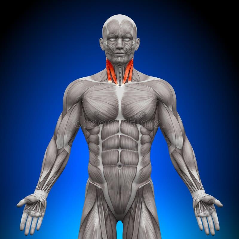 Collo - muscoli di anatomia royalty illustrazione gratis