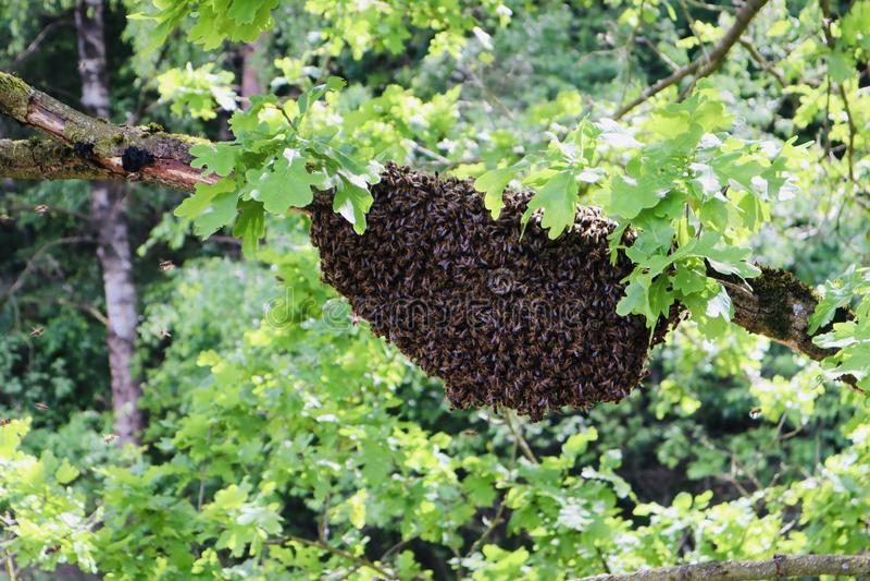 Colmeia da abelha na natureza selvagem fotografia de stock royalty free