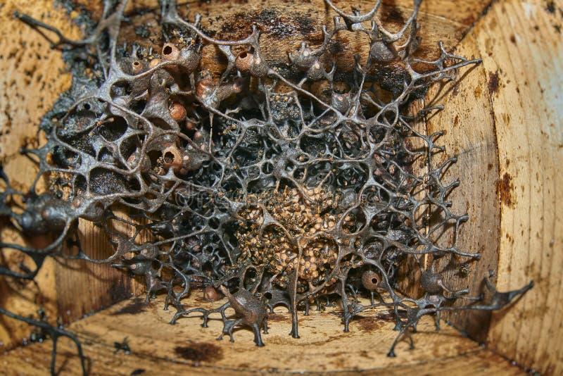 Colmeia Stingless saudável das abelhas fotos de stock