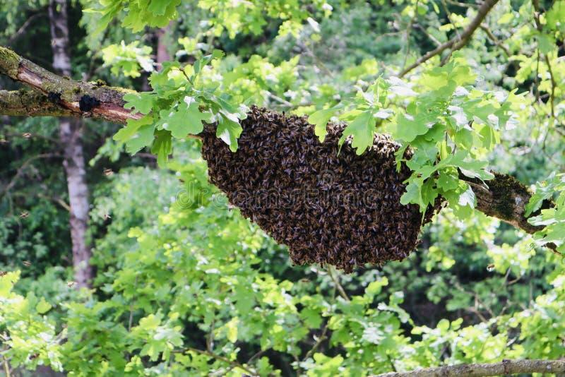 Colmena de la abeja en naturaleza salvaje fotografía de archivo libre de regalías