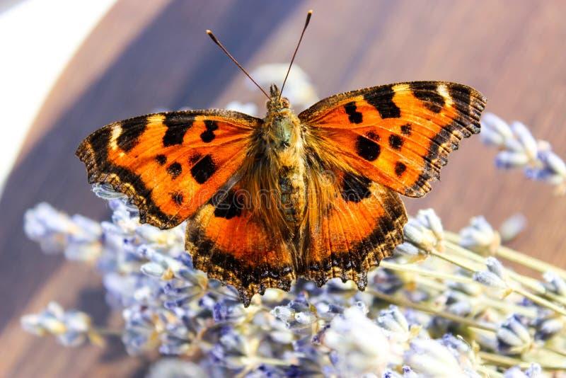 Colmena de la mariposa del insecto foto de archivo