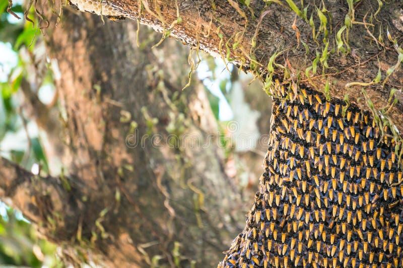 Colmena de las abejas asiáticas salvajes de la miel en árbol imagen de archivo