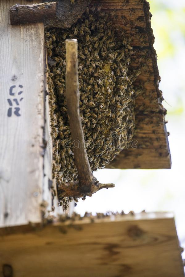 Colmena salvaje de la abeja imagenes de archivo