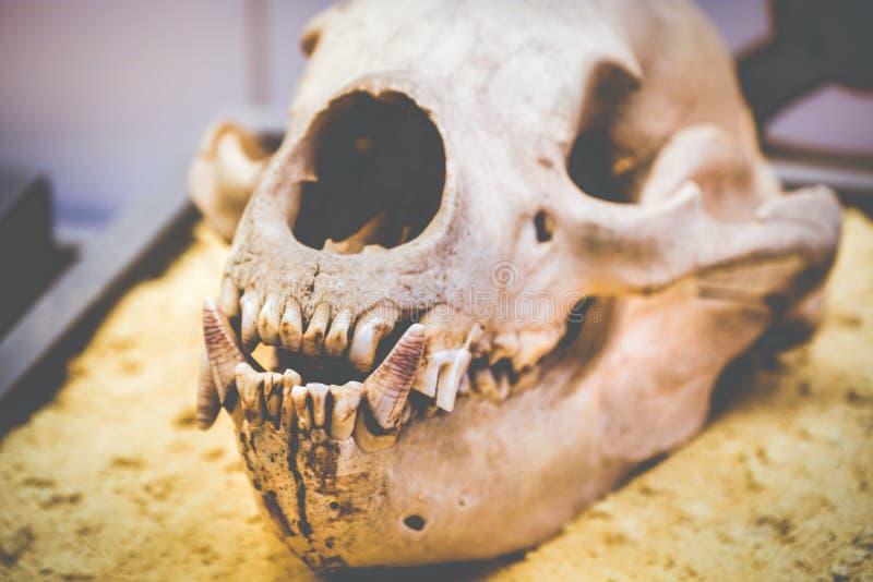 Colmillo de los dientes de la anatomía del cráneo del perro imagen de archivo