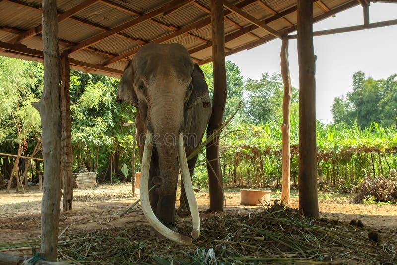 Colmillos largos grandes del elefante en Surin, Tailandia fotografía de archivo libre de regalías