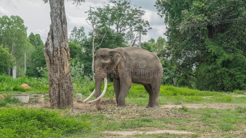 Colmillos largos tailandeses del elefante fotos de archivo libres de regalías