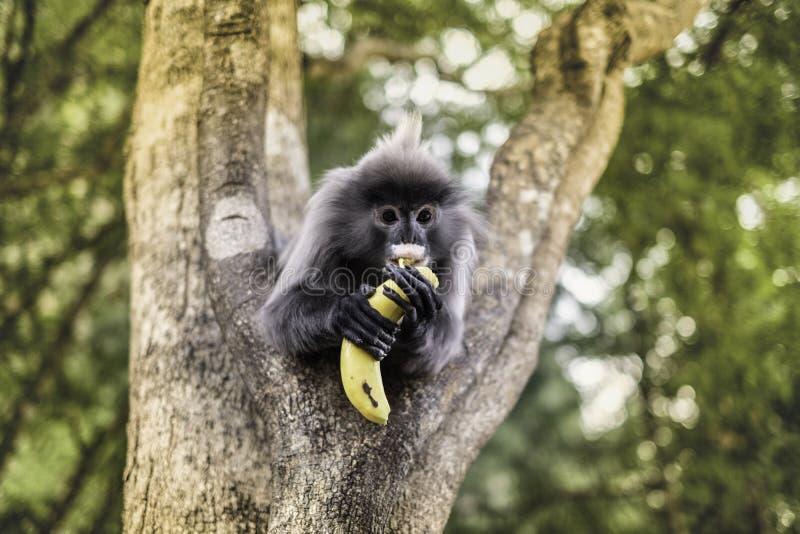 Colobinae επίσης γκρίζο Langur που τρώει το με μακριά ουρά πίθηκο φρούτων στο δέντρο στοκ φωτογραφία με δικαίωμα ελεύθερης χρήσης