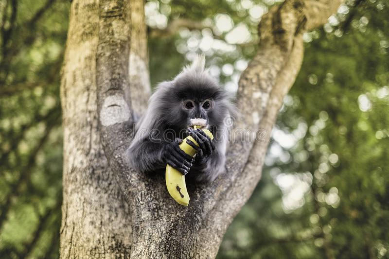 Colobinae also gray Langur eating fruit long tailed monkey on the tree royalty free stock photo