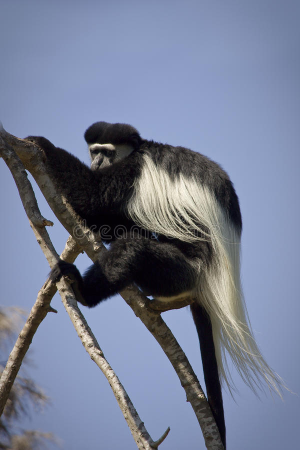 colobus photo stock