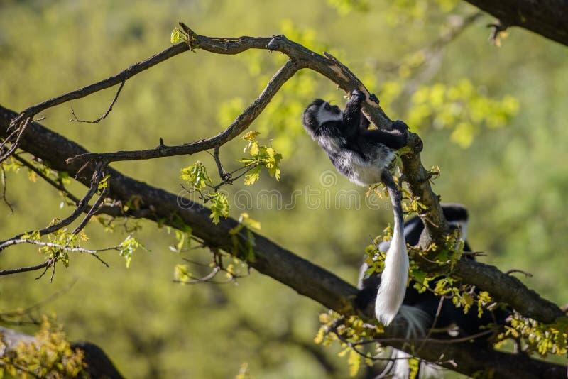 Colobus-Affe Colobus angolensis lizenzfreie stockfotografie
