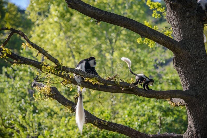 Colobus-Affe Colobus angolensis stockfotos