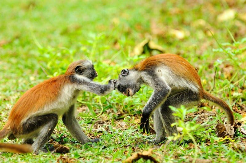 colobus czerwony młody Zanzibar obraz stock