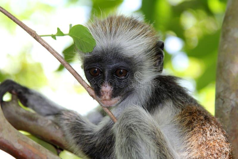 colobus guereza kikuyyensis latin małpy imię obrazy stock