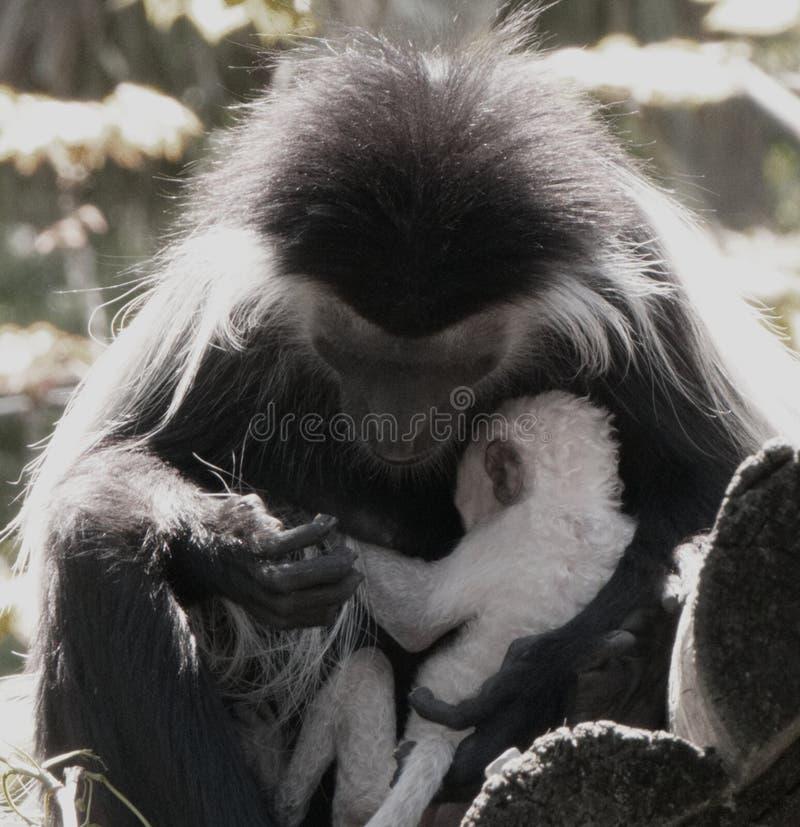 Colobus małpa obejmuje jej dziecka przy zoo zdjęcia stock