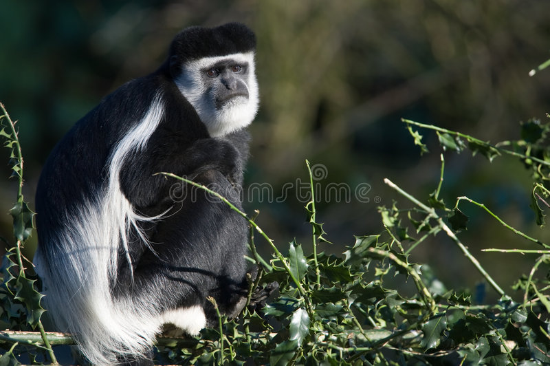 Download Colobus monkey stock image. Image of wise, cute, ancient - 7392261