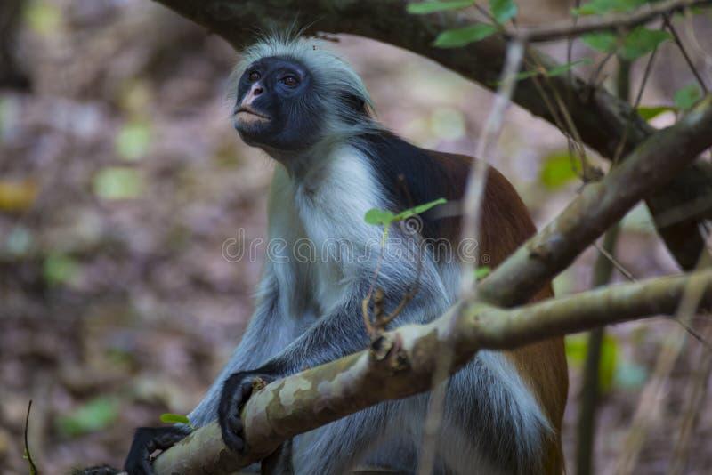 Colobus обезьяны красный в лесе Занзибаре стоковое фото rf