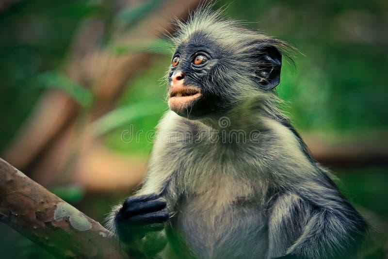 Colobus vermelho do macaco, surpresa, endêmico fotos de stock
