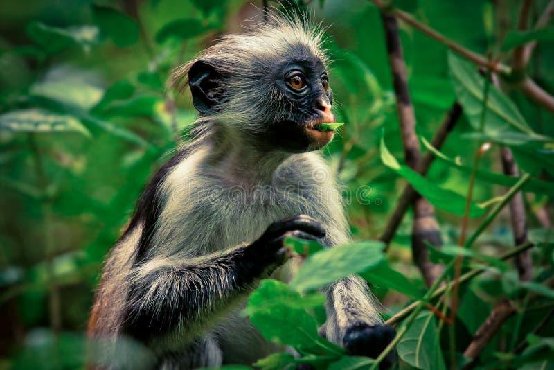 Colobus vermelho do macaco, surpresa, endêmico fotografia de stock royalty free