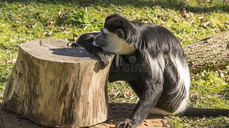 Download Colobusaap het rusten stock foto. Afbeelding bestaande uit primaat - 39101694