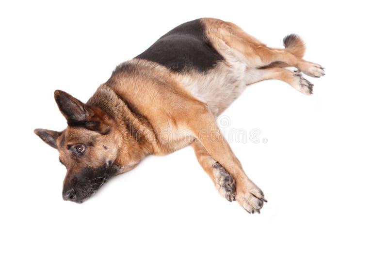 Colocação alemão do cão do shephard fotografia de stock