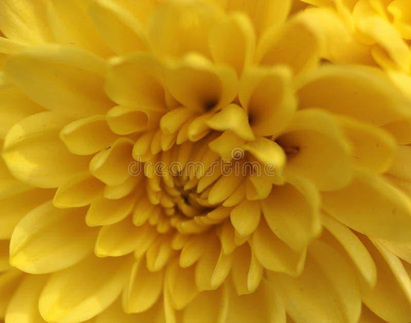 A colocação perfeita da flor amarela impressionante de cada pétala conectou ao seguinte fotografia de stock royalty free