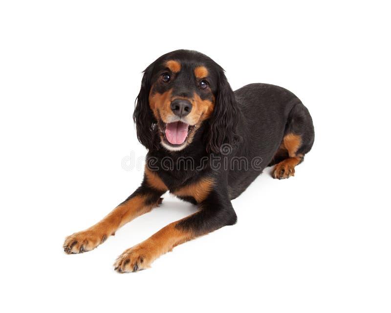 Colocación atenta de Gordon Setter Mix Breed Dog foto de archivo libre de regalías