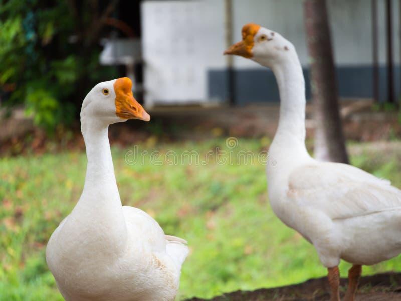 Colocación de los gansos foto de archivo libre de regalías