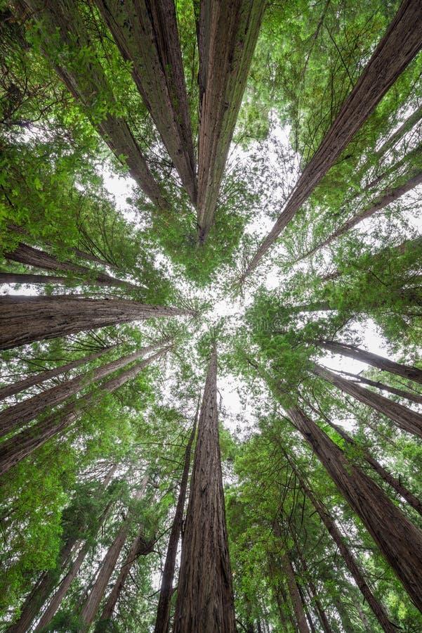 Colocación debajo de un toldo de árboles en Muir Woods National Monument imagen de archivo libre de regalías