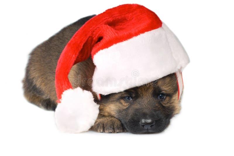 Colocación del perrito de los perros pastor fotografía de archivo libre de regalías