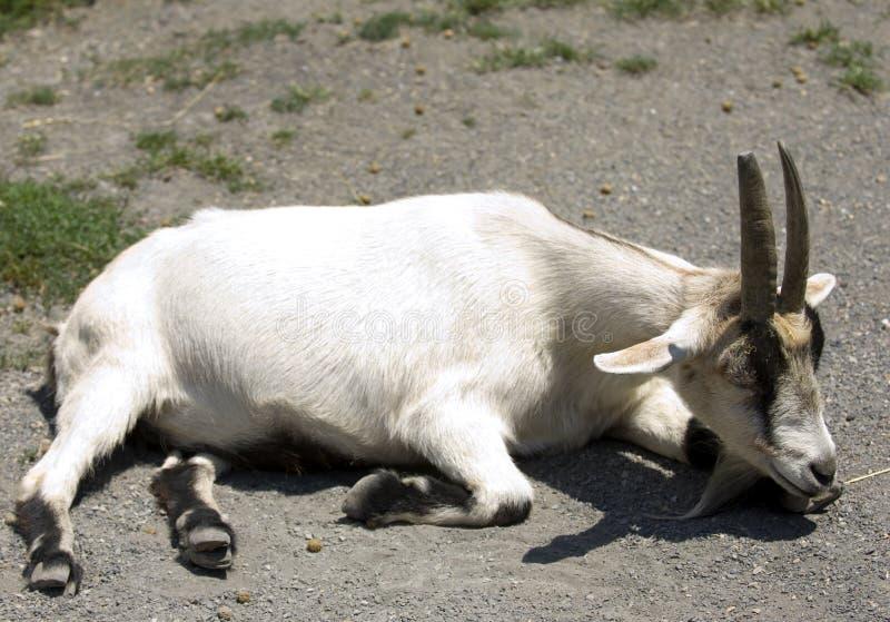 Colocando a cabra imagem de stock royalty free
