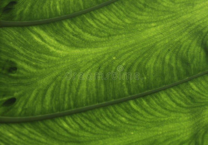 Colocasia esculenta immagini stock libere da diritti
