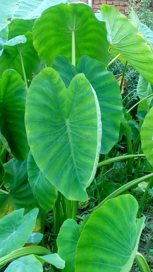Colocasia esculenta Arvi royaltyfri fotografi