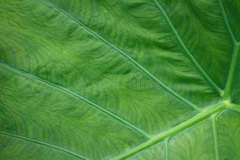 Colocasia esculenta L Schott jest co dwa lata rośliną Opierający się dobrze jako niżowa rzeka Krzewienie przez oddzielnych krótko fotografia stock