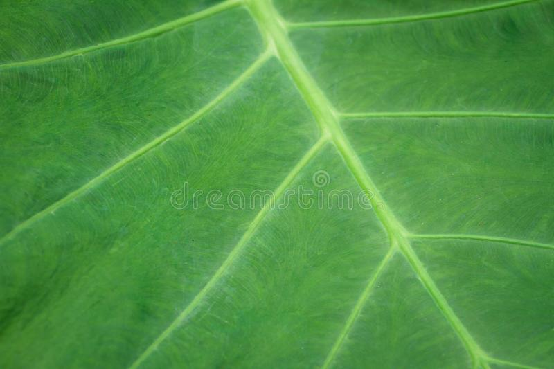 Colocasia esculenta L Schott odżywianie, immunizacja jest diuretykiem, laxative obrazy stock