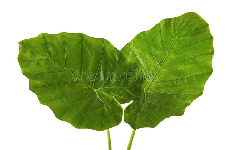Colocasia leaf, Large green foliage also called Night-scented Lily or giant upright elephant ear isolated on white background. With clipping path stock image