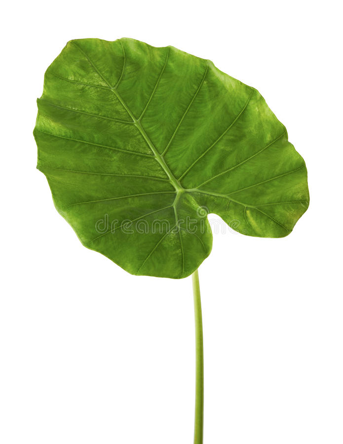 Colocasia leaf, Large green foliage also called Night-scented Lily or giant upright elephant ear isolated on white background, royalty free stock photography