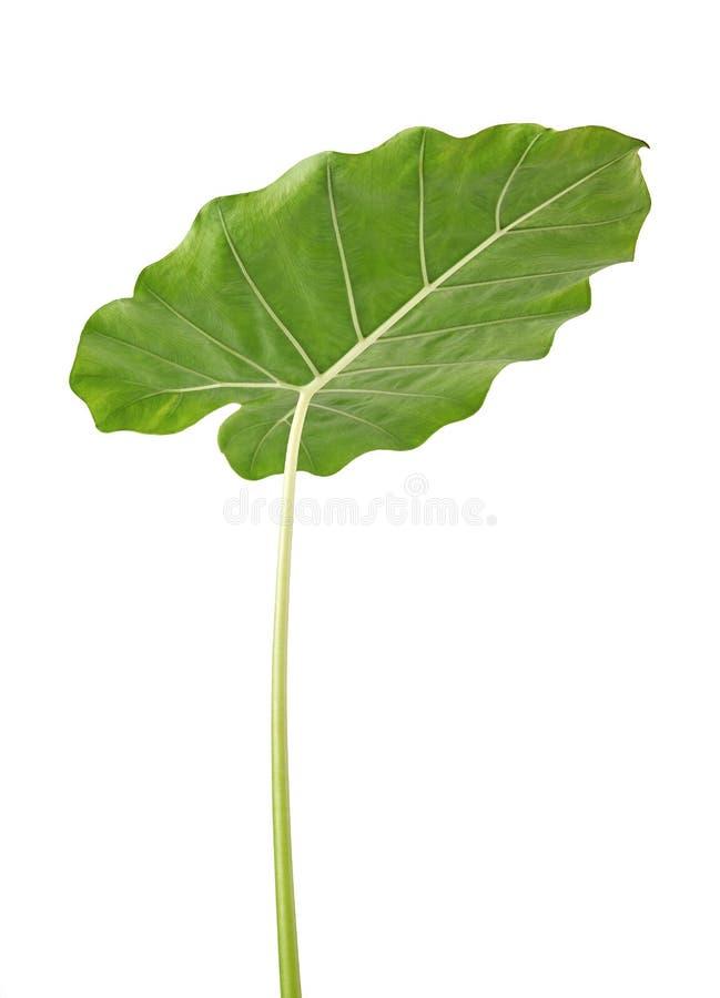 Colocasiabladet, stor grön lövverk kallade också denvädrade liljan eller det jätte- upprätta elefantörat som isolerades på vit ba royaltyfri foto
