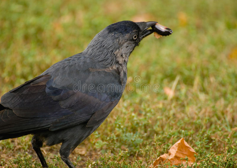 Download Coloeus monedula stock image. Image of wing, wild, monedula - 26631339