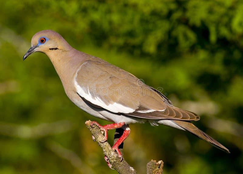 colomba Bianco-alata fotografia stock libera da diritti