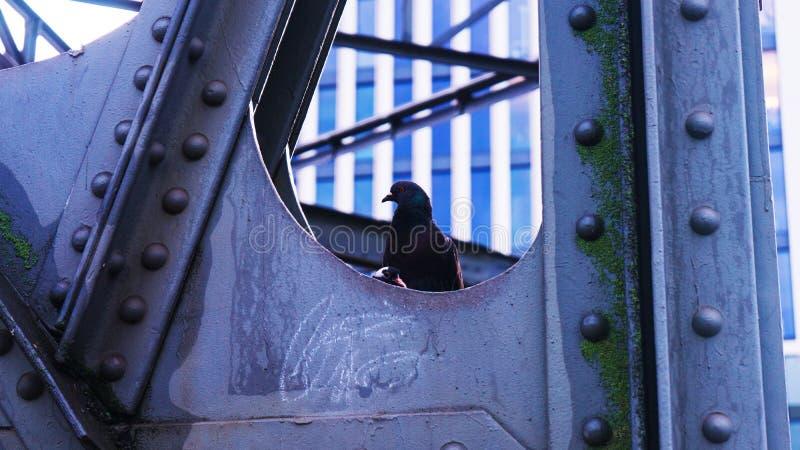 Colomba e pulcino accoccolarsi sulla città del ponte fotografie stock